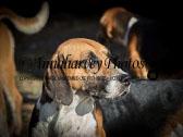2015-11-01 Brosna Foxhounds at Annaharvey Farm